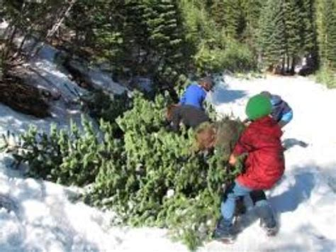 buy christmas tree cuttings tree cutting permits on sale in lincoln national forest