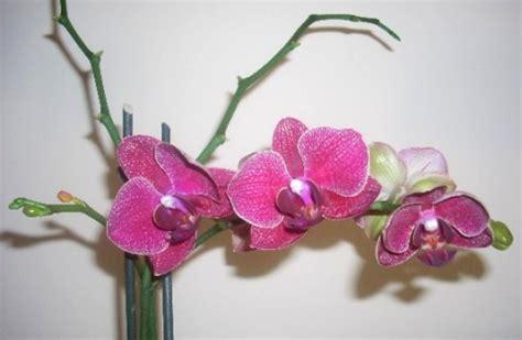 come mantenere le orchidee in vaso piante d appartamento guida alle migliori anche per stanze