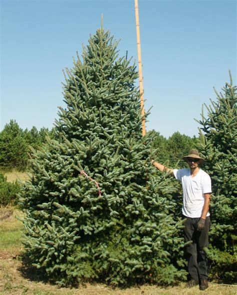 christmas trees on fred meyer best 28 meyer trees 28 best meyer