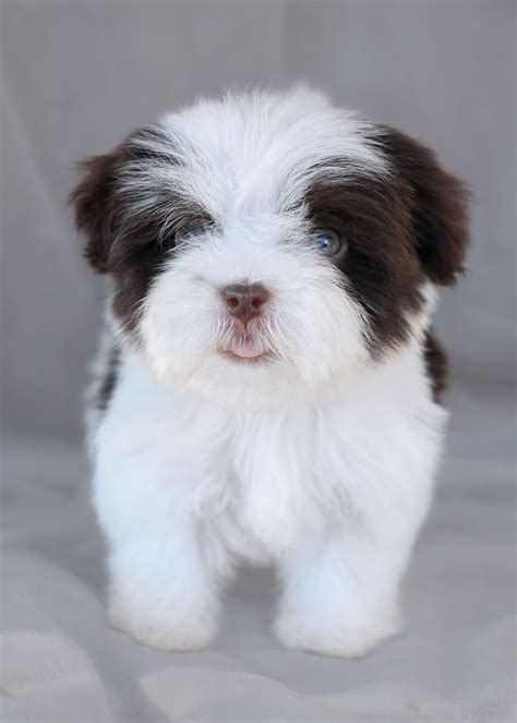 havanese puppies south florida top 25 ideas about havanese puppies for sale on havanese puppies