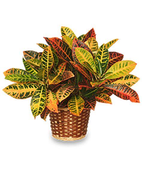 Tropical Indoor Plant Identification - croton plant basket codiaeum variegatum pictum all house plants flower shop network