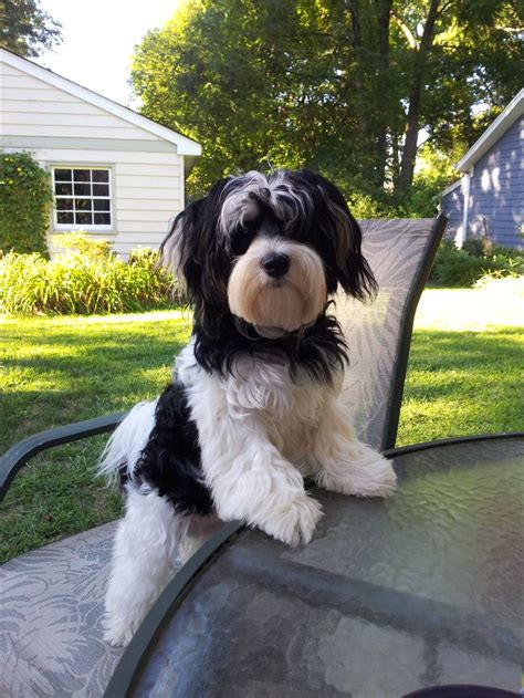 havanese hair 10 best images about havanese hair styles on haircuts yorkie and havanese