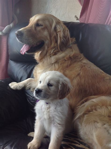1 year golden retriever for sale chunky golden retriever puppies for sale canterbury kent pets4homes