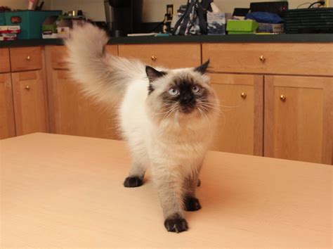 Inidia Cat 24 50 beautiful himalayan cat pictures and images