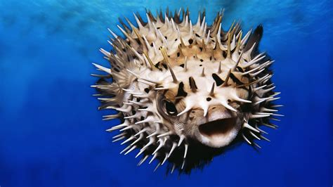 puffer fish pufferfish