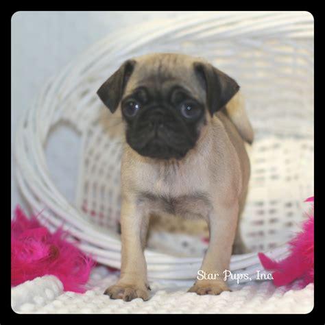 pug coat colors pug f fawn sold pups