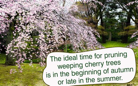 cherry tree pruning weeping cherry tree pruning