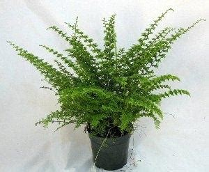 buy house plants online cheap green fantasy fern easy to grow house plant 4 quot pot