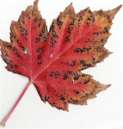 file carlton and maple leaf file autumn rocky mountain maple leaf jpg
