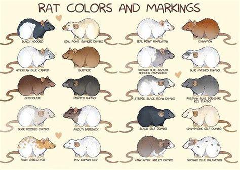 rat colors 17 best images about pets on guinea pigs pets