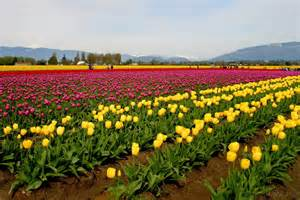 tulip fields beautiful tulip fields is the best places to travel holland beautiful traveling places