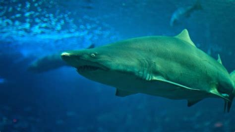 are sharks color blind are sharks blind reference