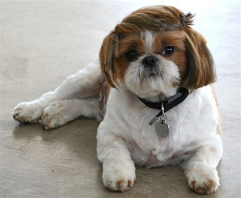 puppy cut shih tzu shih tzu haircut pic shih tzu haircuts for boys hairstylegalleries shih tzu
