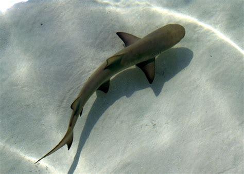 baby shark google baby lemon shark