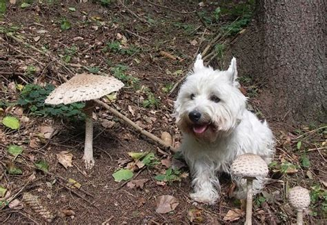 can dogs eat mushrooms foods your dogs can and can t eat thehappypooch