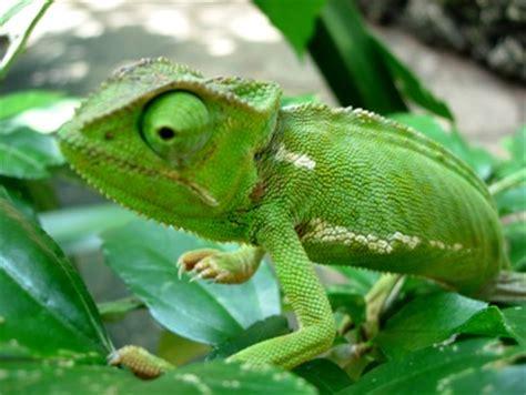 i m kinda creepy but just kinda i want a pet chameleon