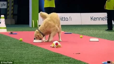 golden retriever obedience competition golden retriever hilariously fails obedience competition in daily mail