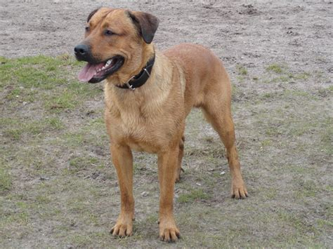 boerboel x rottweiler boerboel x rottweiler breeds picture