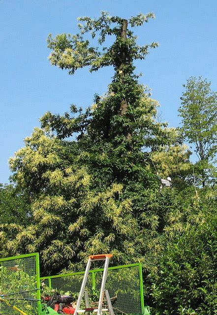 Taille Des Chataigniers by Le Forum Des Arboristes Grimpeurs Des Grimpeurs D Arbres