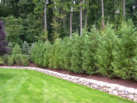 Tree In Backyard by Truesdale Landscaping Best Trees And Plants For Privacy