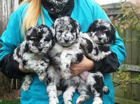 mini aussiedoodle puppies for sale near me the gallery for gt aussiedoodle blue merle
