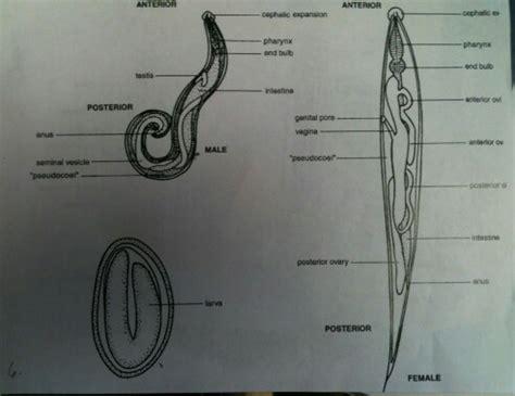 pinworm cycle diagram enterobius vermicularis med studies