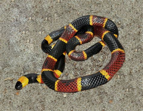 Snake Pattern Red Black Yellow | saving a coral snake by using midwest snake tongs and
