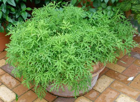 citronella anti mosquito plant for sale fast growing trees com