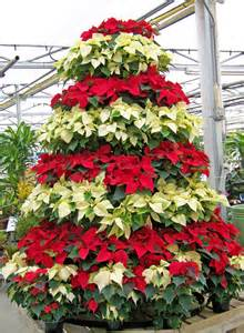 poinsettia christmas tree free stock photo public domain