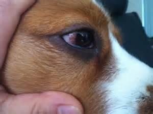 recurring dog eye infection