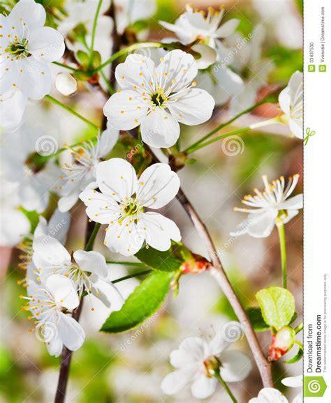 fiori di ciliegia fiori di ciliegia bianchi sul ramoscello fotografia stock