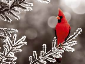 cardinals images male cardinal in the winter hd wallpaper