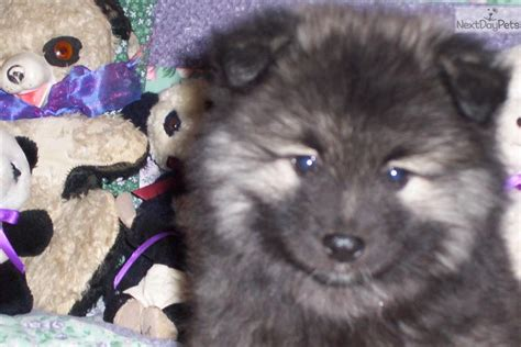 keeshond puppies for sale near me keeshond puppy for sale near indianapolis indiana b40f2db3 cbe1