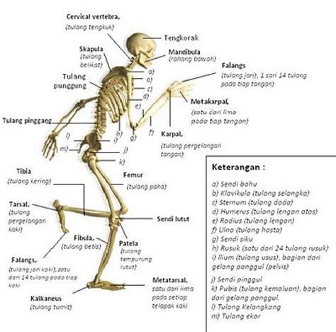 Kerangka Manusia kerangka seluruh tubuh manusia dan penjelasannya updatenya