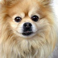 pomeranian and allergies allergies in with pomeranians ehow