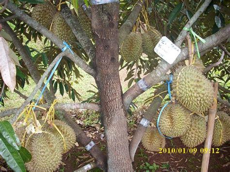 Pupuk Nongfeng Untuk Durian pupuk durianpupuk masa depan