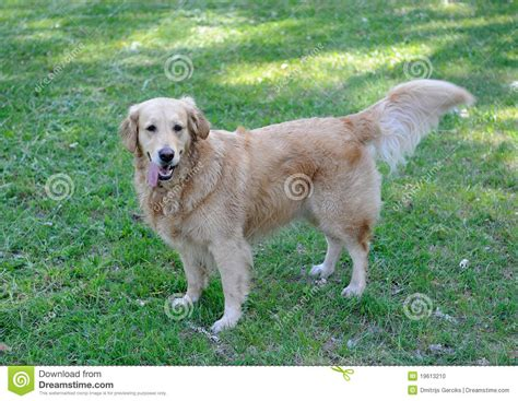healthy golden retriever healthy golden retriever walking stock photo image 19613210