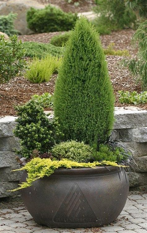 container gardening winter 276 best conifers images on