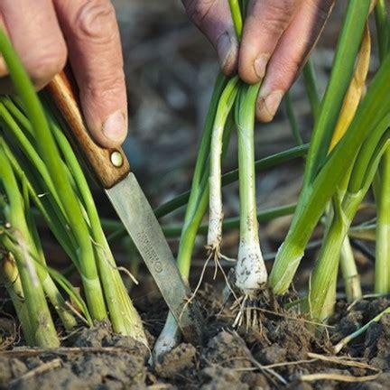 Comment Planter L Oignon by Comment