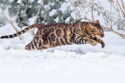 snow breeds the bengal cat cat breeds encyclopedia