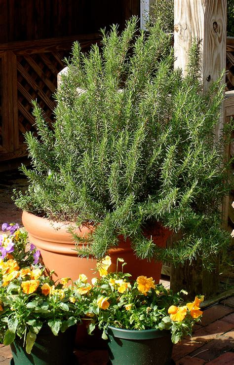 Rosemary Topiary - growing rosemary bonnie plants