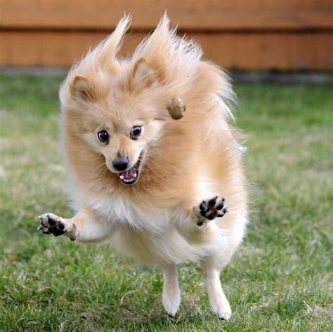 hyperactive dogs померанский шпиц фотографии померанских шпицев