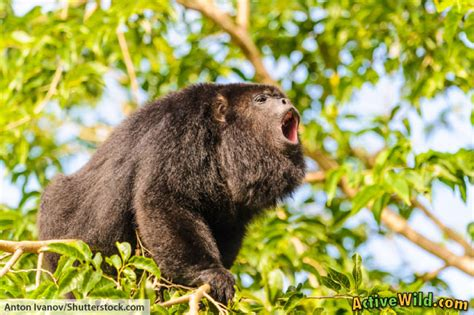 Plants In The Emergent Layer Of The Tropical Rainforest - rainforest animals list with pictures facts amp information