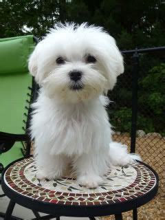 best brush for havanese 25 best ideas about havanese grooming on havanese puppies the kennel