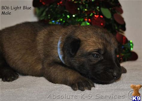 puppies athens ga belgian malinois puppies for sale athens breeds picture
