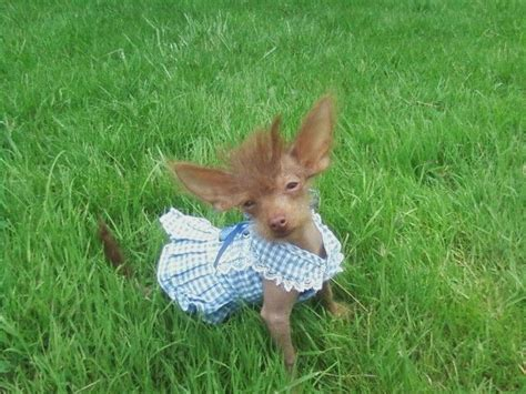 crested powder puff yorkie mix 142 best hairless awesomeness images on hairless doggies and