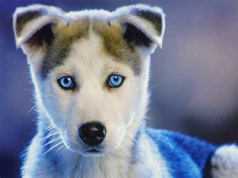 puppies husky husky wallpaper hd free wallpaper