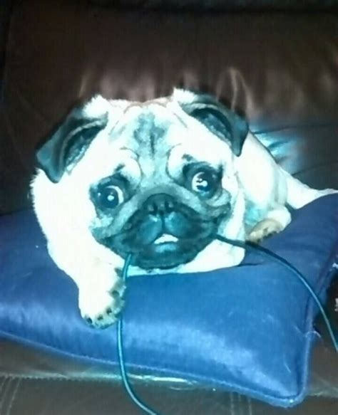 pugs for sale in leeds fawn pug for sale leeds west pets4homes