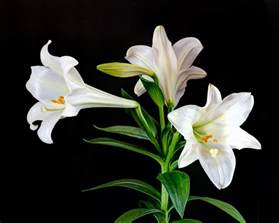 187 save that easter lily and more bulb relatives