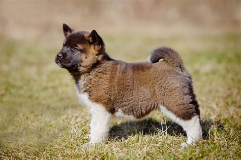 how to a to come when you call how to teach an akita puppy to come when you call their name pets4homes